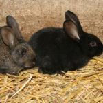 Et encore des lapins