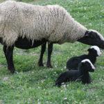 Brebis avec ses agneaux