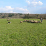 Anne qui rassemble son troupeau